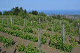 Vineyard - Nicosia