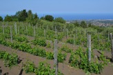 Vineyard - Nicosia