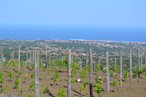 Vineyard with a view