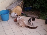 Mother & kittens eating