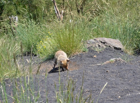 Fox digging for a reptile
