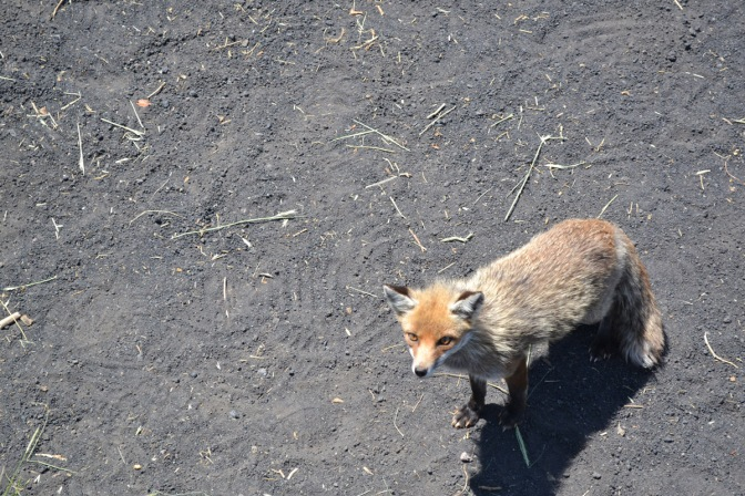 One fox, some chicken and a grumbling volcano