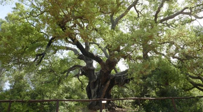 A corker of a tree!